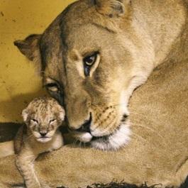Allergi-mødre er som en løvemor